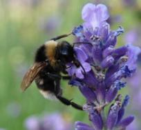 a lavender flower with big bee
